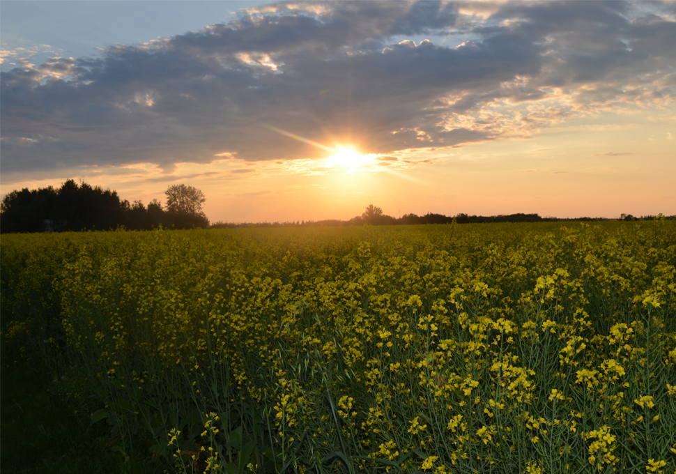 canola field in Morinville